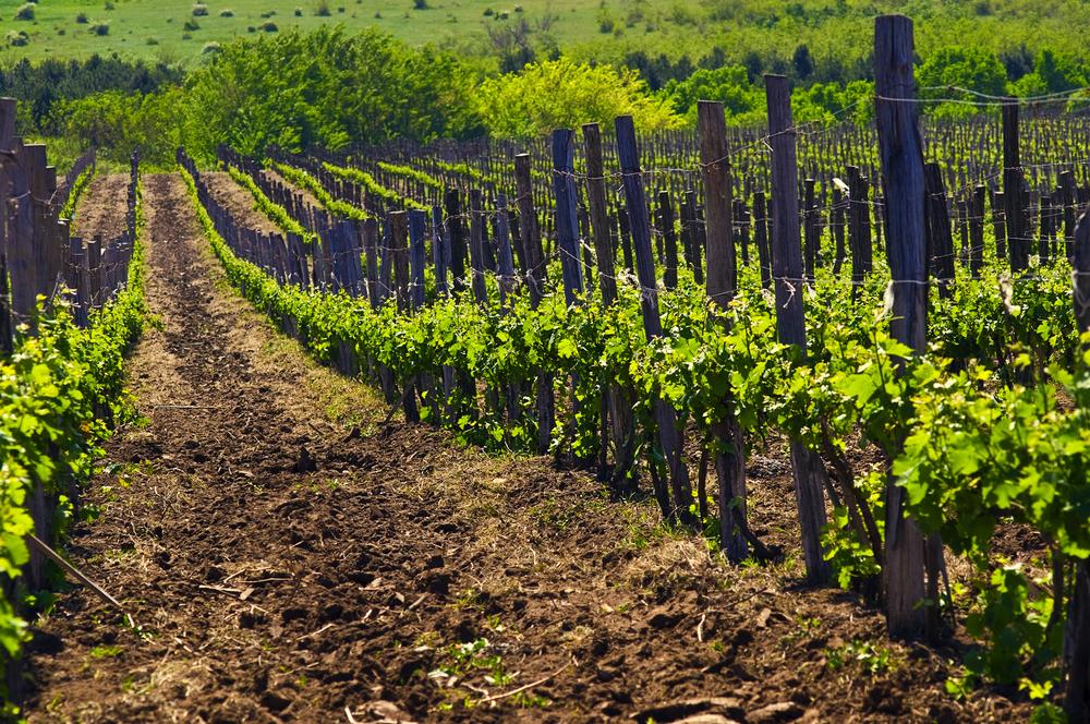 La scelta bio: dalla vite al vino