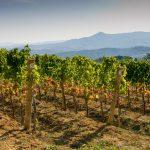 Coltivazioni vino biologico nella Maremma