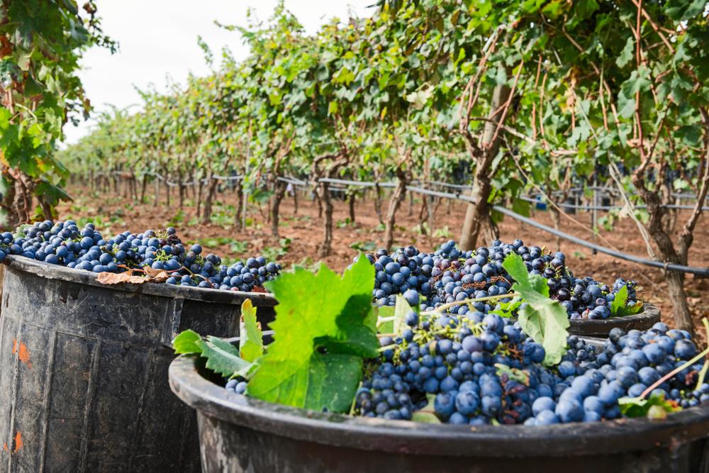 Il vitigno e il suo frutto