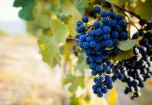 Il Nebbiolo: vitigno e prodotti