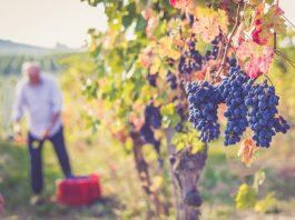 Aglianico dal vitigno a tavola