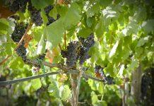 Alla scoperta dei migliori vignaioli italiani: Cantina Cerchiara