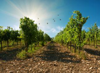 Il vino biologico di Castello di Montesasso