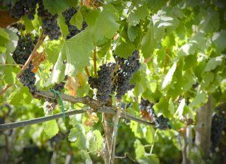 Gaglioppo, il vino simbolo della Calabria