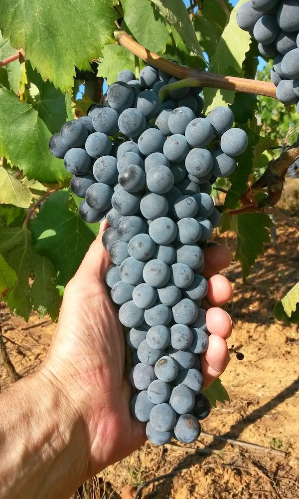 Ciliegiolo grape