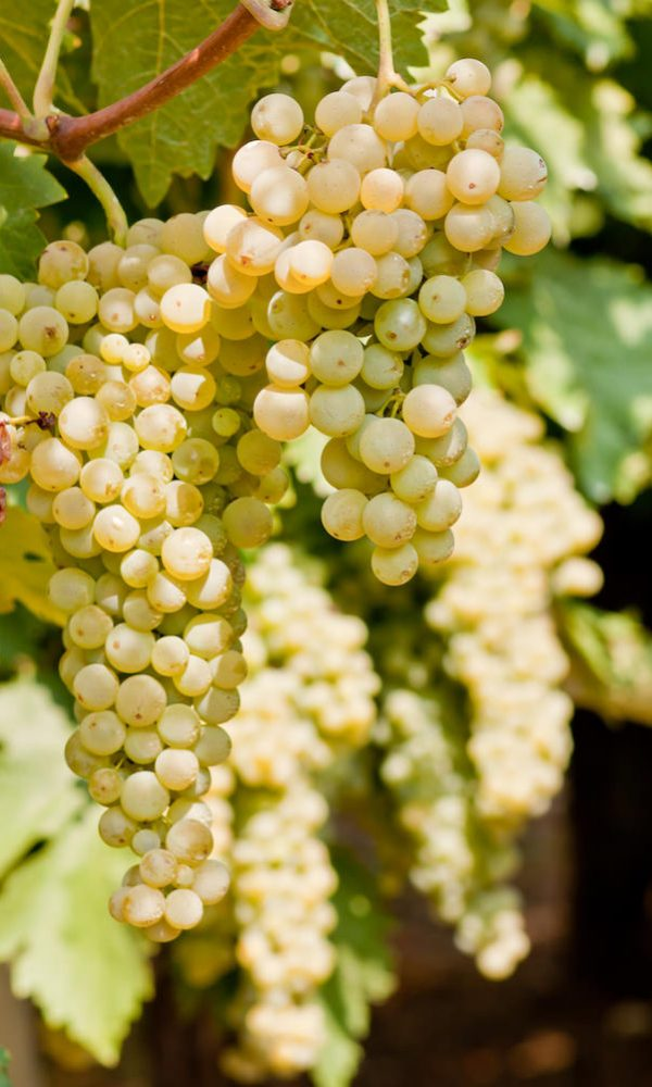 grapes -grappoli d'uva bianca