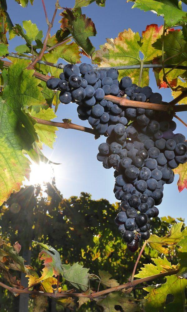 Il sole attraversa le foglie di vite con un grappolo di uva matura in primo piano in un vigneto in italia