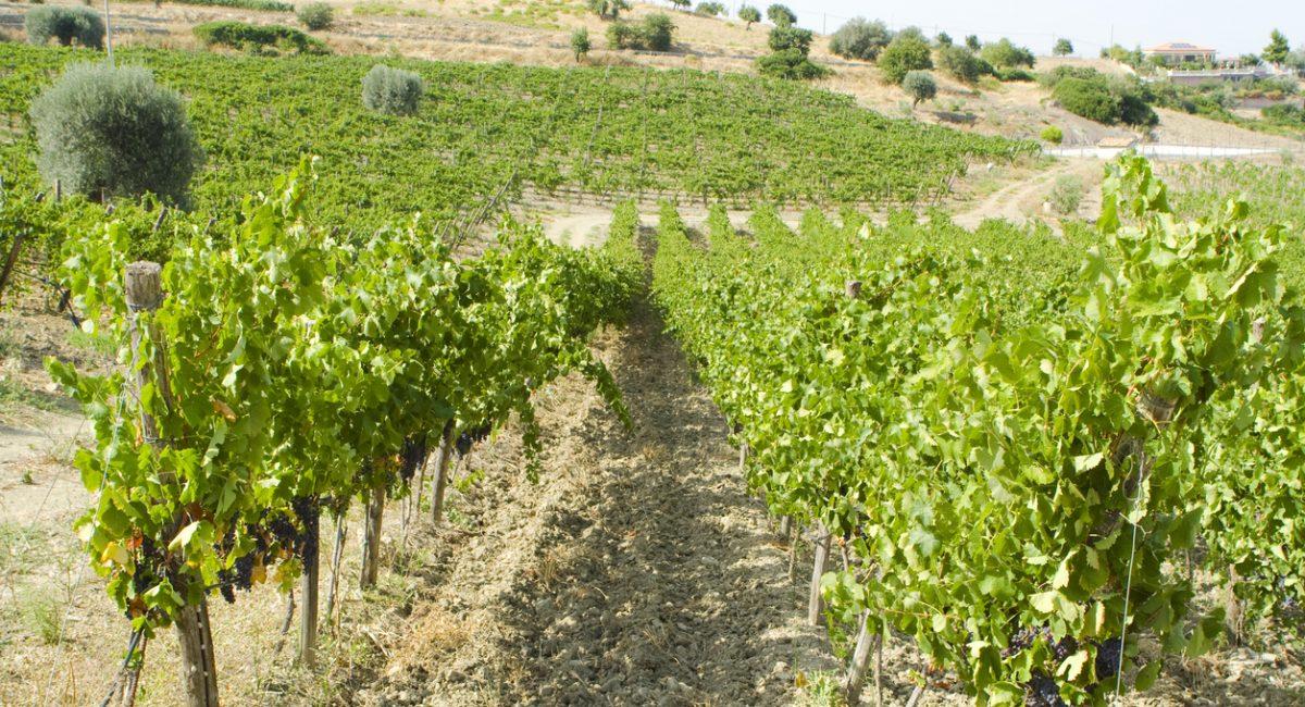 """Vineyard near Montegiordano, Calabria, Italy"""