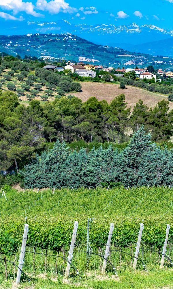 Vineyards in Abruzzo