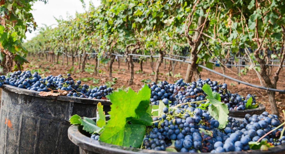 La raccolta dal vitigno