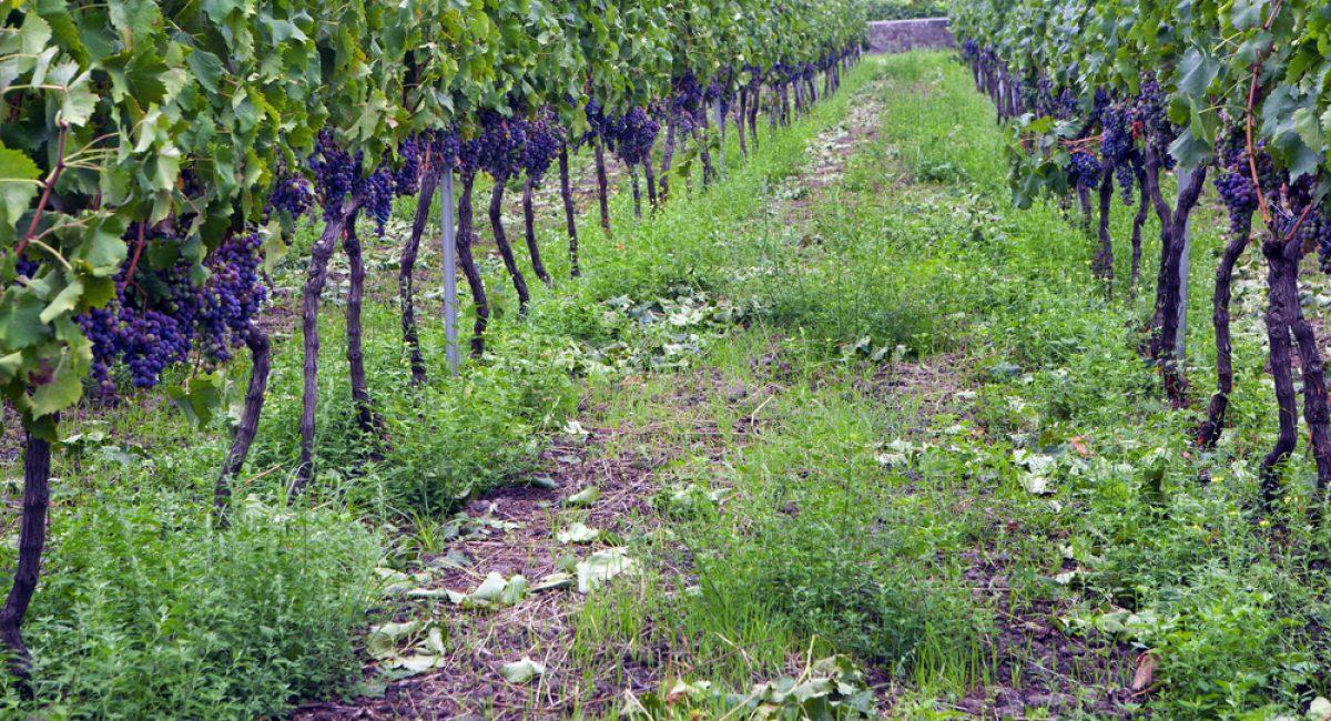 I vitigni siciliani: sapori autentici