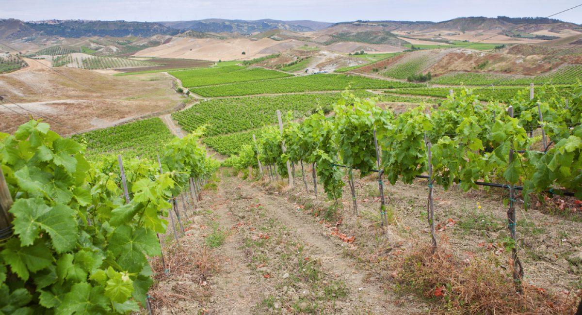 I migliori vitigni della Calabria