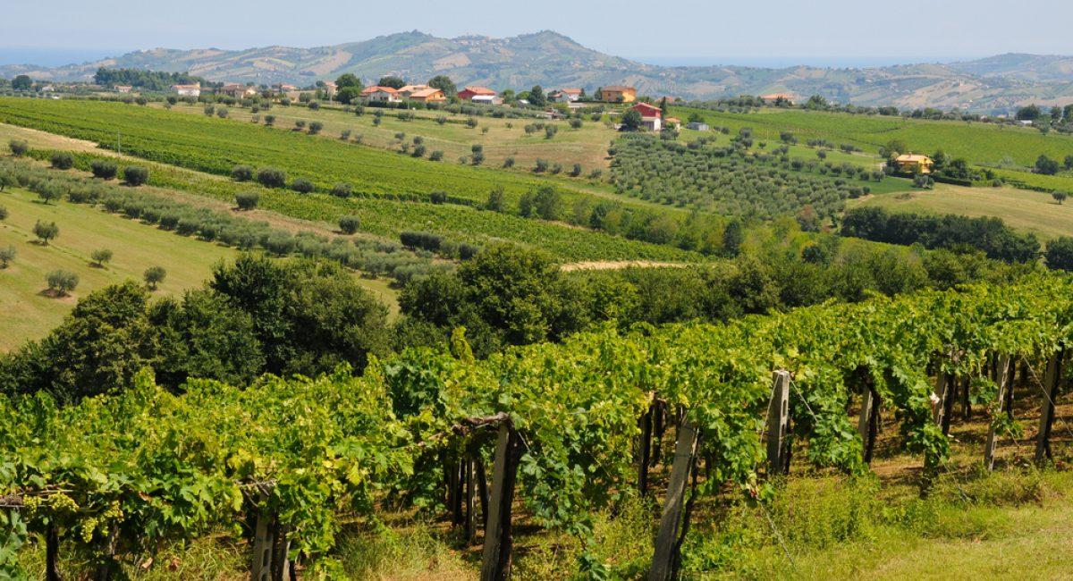 I vitigni del Montepulciano d'Abruzzo