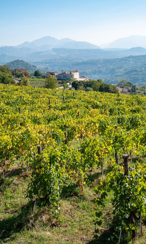 a beautiful vineyard of Greco di Tufo wine, an excellent Italian white wine