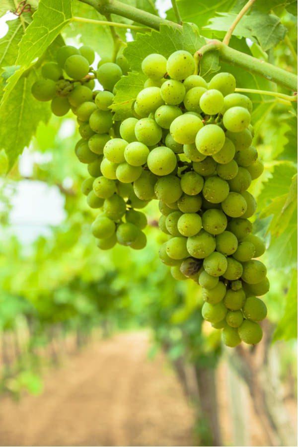 uva bianca_455086990